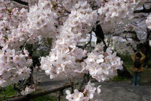 Sakura_2009_05