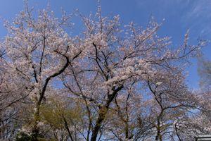 Sakura_2009_11