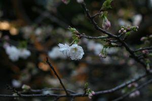 Sakura_201004_004