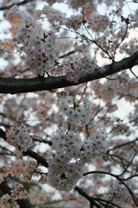 Sakura_201004_005