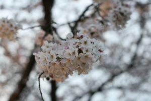Sakura_201004_006