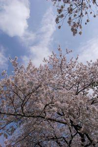 Sakura_2011_06
