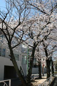 Sakura_20120407_1