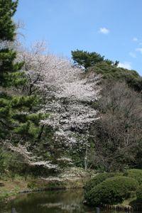 Sakura_20120407_8