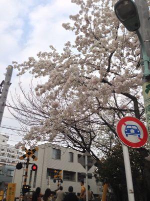 Sakura_2013_0002