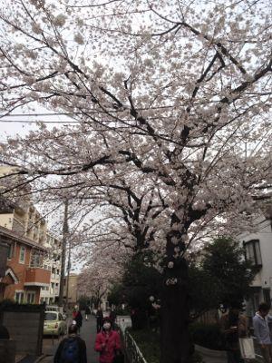 Sakura_2013_0003