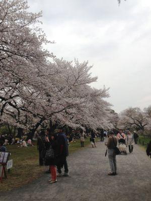 Sakura_2013_003