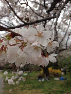Sakura_2013_007