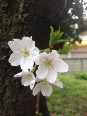 Sakura_2013_008