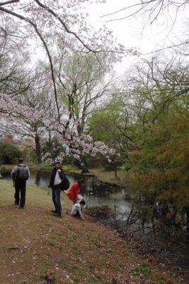 Sakura_2013_009