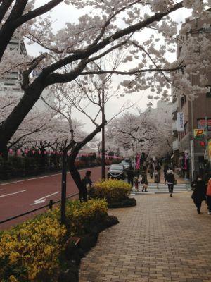Sakura_2013_012