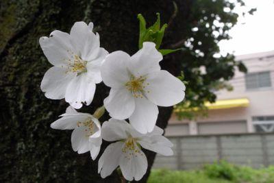 Sakura_2013_013
